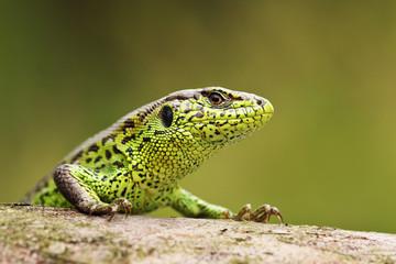 curious sand lizard on a wooden stump
