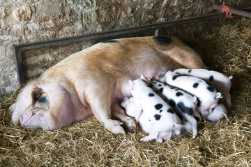 A Gloucester Old Spot sow and her young piglets feeding in a shed