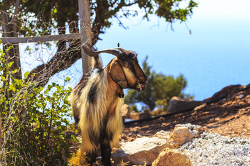 Goat on the mountain with sea view
