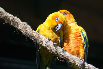 Two Sun Conure, yellow parrots, snuggling in a tree