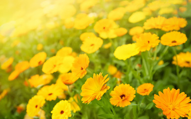 Blurred summer background with Marigold flowers