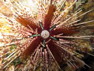 Bleistift-Diademseeigel  Echinothrix calamaris