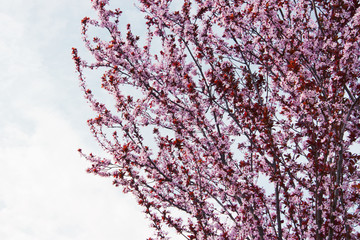 Cherry tree branch bud bud in bloom background as a beautiful spring flower blooming