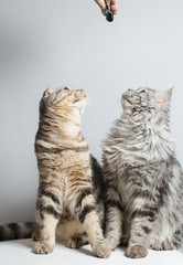 Scottish Fold and Scottish Straight look up. Place for text.