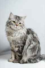 A beautiful Scottish cat. Animal protection.