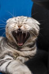 A beautiful Scottish cat deja vays