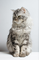 Cute and cute Scottish cat on a white background. Isolate