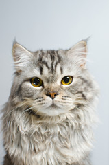 A beautiful and cute Scottish primate cat looks at the camera on a white insulator. Place for text