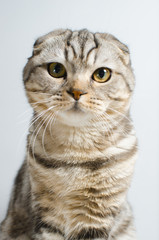 Cute and cute Scottish cat looking at the camera on a white background. Place for the text.