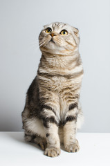 beautiful and cute Scottish cat cute sitting on a white isolator. place for advertising.