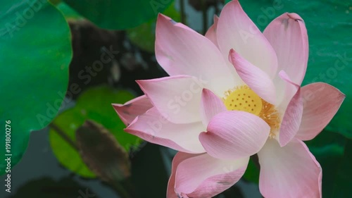 Close Up Video Of A Lotus Flower It Is The National Flower Of India