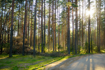 Beautiful mixed pine and deciduous forest in Lithuania