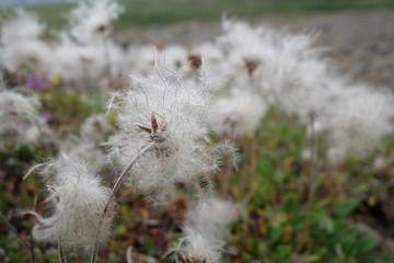 アイスランド、綿毛のある植物