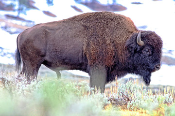 Profile of bison bull with snow in background
