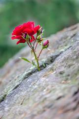 Rose im Stein