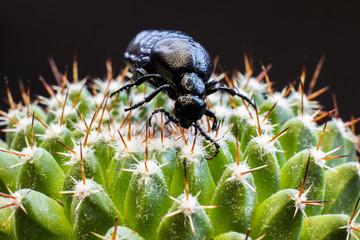 Black bug on a cactus