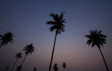 Black tree of coconut on morning.