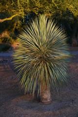 Yucca im Abendsonnenschein