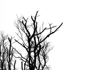 Silhouette dead tree isolated on white background for scary or death. For hopeless, despair and peaceful concept.