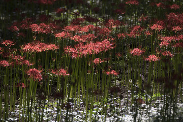 Beautiful Red Spider Lily in the field