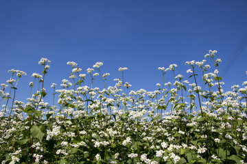 The beautiful buckwheat flowers in the field
