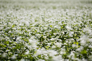 The beautiful buckwheat flowers in the field