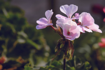 beautiful bouquet pink geranium flower