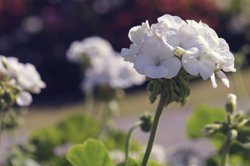 white geranium flower blooming in garden