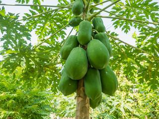 organic green papaya fruits on tree