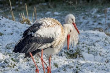 White Stork in Snow