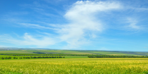 Green field and blue sky with light clouds. Wide photo.