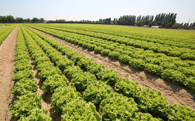 lettuce in the summer on the fertile sandy soil
