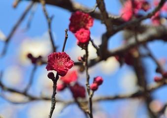 日本の梅の花が咲く