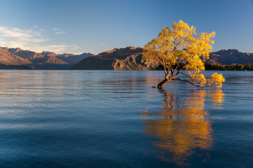 The Wanaka Tree in summer, at sunrise