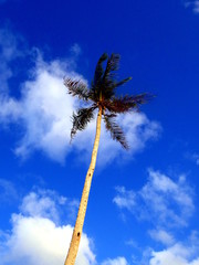 Palm tree top before blue sky with coconut fruits close up