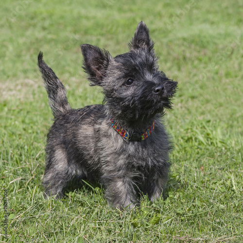 cute brindle cairn terrier puppy posed on a lawn