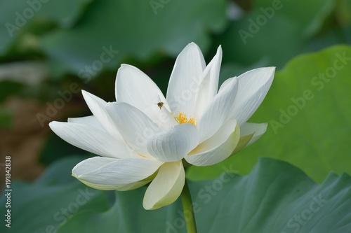 Macro details of japanese white lotus flowers at garden stock photo macro details of japanese white lotus flowers at garden mightylinksfo