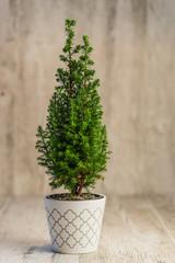 cypress tree on desk