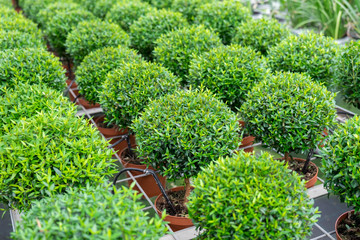 Small myrtle round plants for sale at nursery