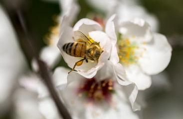 A bee on a white almond tree flower