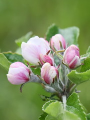Apple tree blossom pink flowers and buds in spring