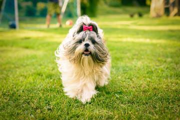 Shih tzu dog running towards the camera on a grass