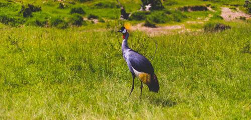 single grey crowned crane