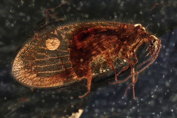 brown lacewing imprisoned in baltic amber