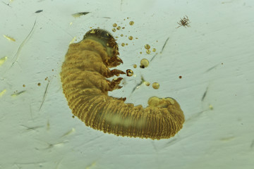sawfly grub imprisoned in baltic amber