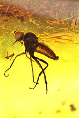 long-tailed dance fly imprisoned in baltic amber