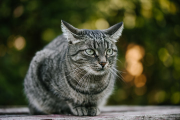 A domestic cat with cute paws sitting on a old wooden table against a background of green plants. A non-pedigreed cat, circles in blurred background, looks to the left. A pet in nature.