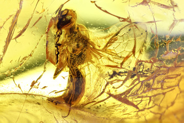 wasp imprisoned in baltic amber