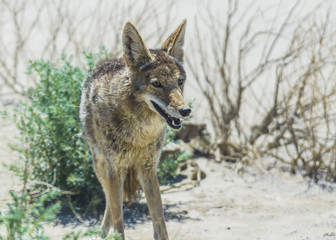 coyote stalk on roadside  in desert area.