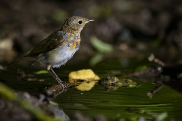 Young common redstart (Phoenicurus phoenicurus) sits on the bird watering place in the woods
